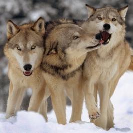 Loup HARPO